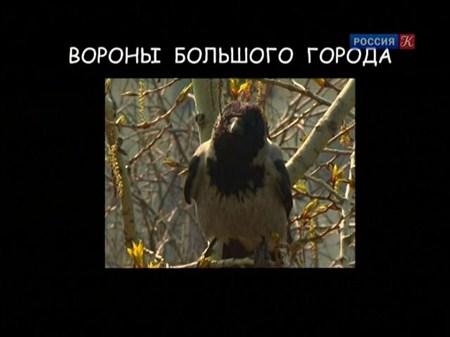 Скачать с letitbit  Страна птиц. Вороны большого города (2011) SATRip