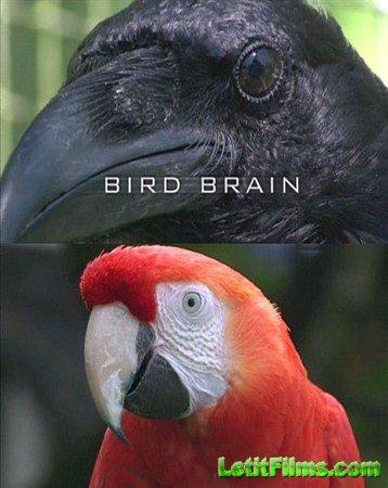 Скачать с letitbit  Думают ли птицы? / Bird brain (2011) SATRip