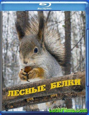 Скачать с letitbit  Лесные белки (2013) HDTV 1080i